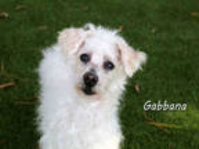 Adopt GABBANA a White Poodle (Miniature) / Mixed dog in Fort Myers