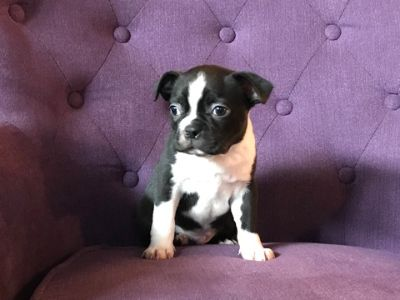Boston Terrier PUPPY FOR SALE ADN-113672 - Meet John