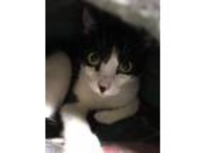 Adopt Chance a Domestic Shorthair / Mixed cat in Canton, GA (25496311)
