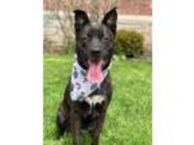 Adopt Angeline a Pit Bull Terrier, Shepherd
