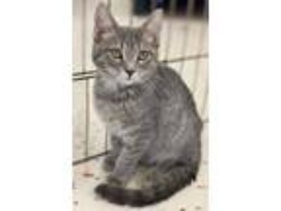Adopt Wiggles -- 4 MONTHS a Domestic Short Hair, Tabby