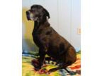 Adopt Pippa a Black Great Dane / Mixed dog in Bethel, OH (23807374)