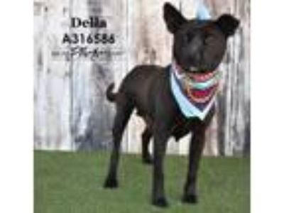 Adopt DELLA a Pit Bull Terrier, Mixed Breed