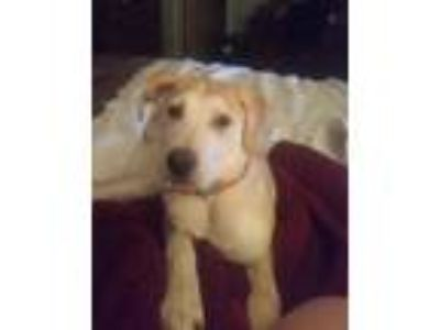 Adopt Sunny a Tan/Yellow/Fawn Labrador Retriever dog in Raytown, MO (25285990)