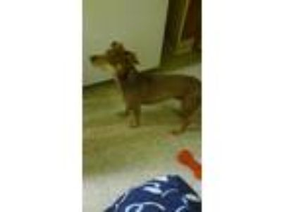 Adopt Lucky a Brown/Chocolate Miniature Pinscher dog in Reading, PA (25543642)