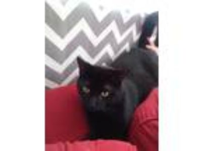 Adopt Felix a All Black American Shorthair / Mixed cat in Grand Rapids