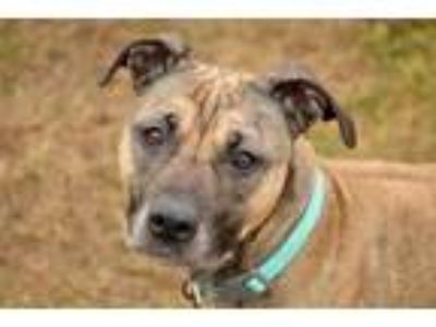Adopt Miley a Brown/Chocolate American Pit Bull Terrier / Mixed dog in