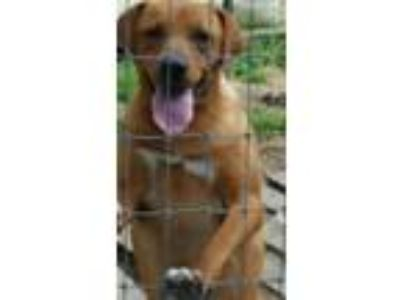 Adopt Abby (young Lab mix- sweet & shy) a Labrador Retriever, Hound