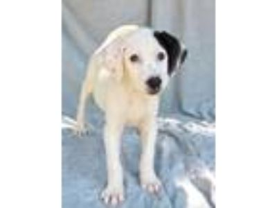 Adopt Charleigh Lonestar a White - with Black German Shorthaired Pointer /