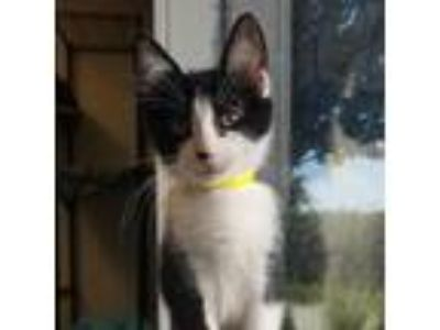 Adopt Mona a All Black Domestic Shorthair / Domestic Shorthair / Mixed cat in