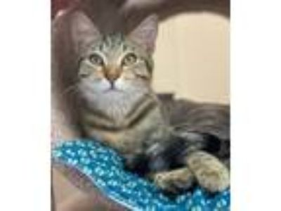 Adopt Cabbage Patch a Domestic Short Hair