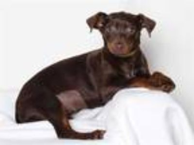 Adopt *JOY a Brown/Chocolate Terrier (Unknown Type, Medium) / Mixed dog in