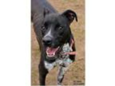 Adopt Shadow a Black American Pit Bull Terrier / Mixed dog in Owosso