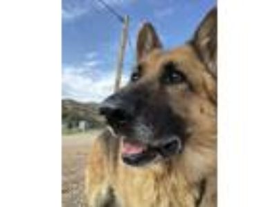 Adopt RIGO a Tan/Yellow/Fawn - with Black German Shepherd Dog / Mixed dog in Van