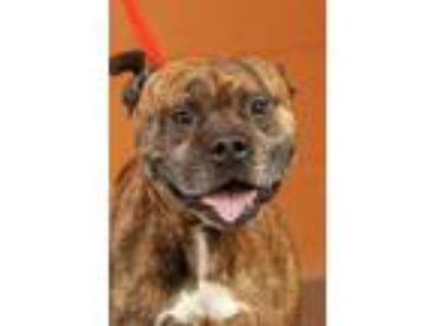Adopt Brindle a Pit Bull Terrier
