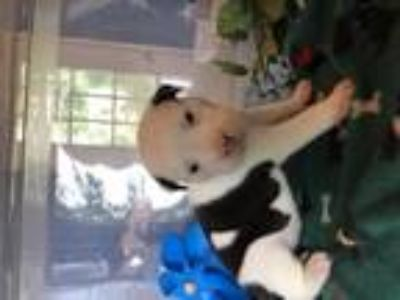 Adopt Roti a White - with Black American Pit Bull Terrier / Border Collie /