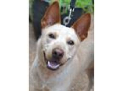 Adopt Gumbo a Australian Cattle Dog / Mixed dog in White Plains, NY (25583556)