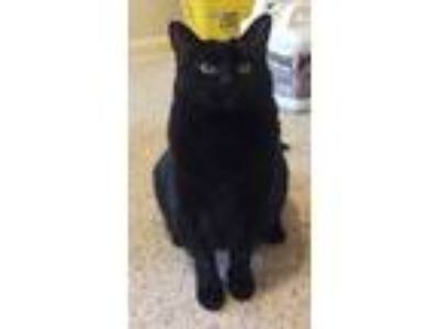 Adopt Bonnie a All Black Domestic Shorthair / Mixed (short coat) cat in