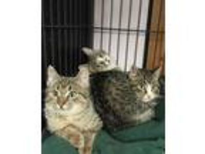 Adopt Patrick (bonded with Sandy) a American Shorthair