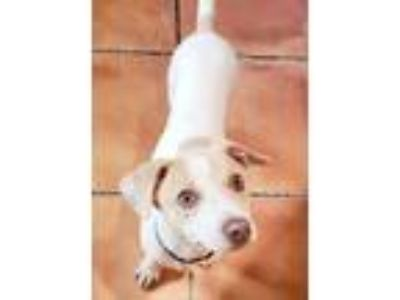 Adopt Marley a White - with Tan, Yellow or Fawn Mixed Breed (Small) / Mixed dog