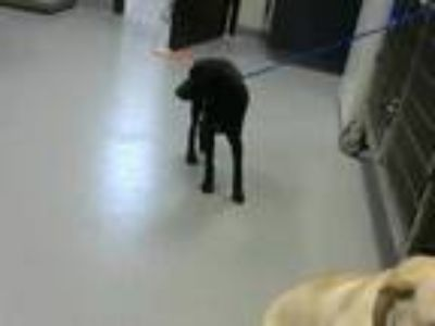 Adopt MIA a Black - with White Miniature Pinscher / Mixed dog in Fayetteville