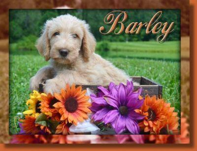 Barley Female F1B Labradoodle