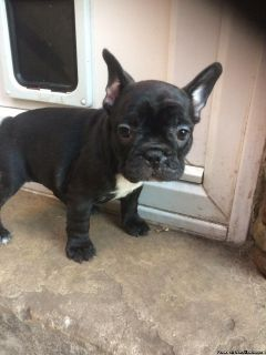 Preciouce Babies males and female French bulldog puppies available for sale
