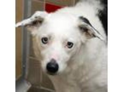 Adopt Gracie a Border Collie