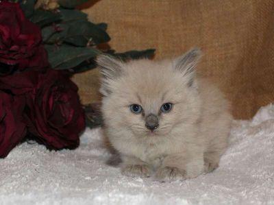 Tica Ragdoll Kittens