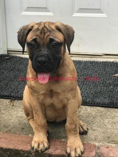 Bullmastiff PUPPY FOR SALE ADN-86342 - Bullmastiff Puppies Ready for New Homes