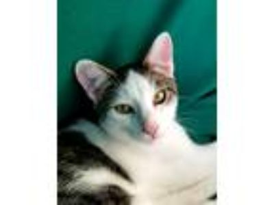 Adopt Oct20@Petco meet Walsh a White (Mostly) Domestic Shorthair (short coat)