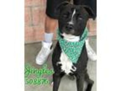 Adopt Jingles a Black - with White Whippet / Pit Bull Terrier / Mixed dog in