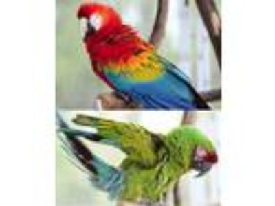 Adopt QUORK and BETSY a Macaw bird in Asheville, NC (13481611)