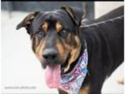 Adopt Remy - URGENT a Rottweiler / Shepherd (Unknown Type) / Mixed dog in Dana