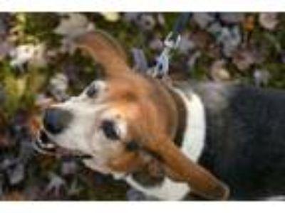 Adopt Logan a Beagle