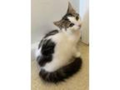 Adopt Al a White (Mostly) Domestic Longhair (long coat) cat in New Milford