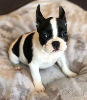 French Bulldog PUPPY FOR SALE ADN-104841 - French Bulldog Puppy