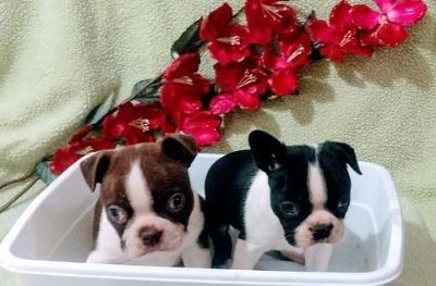 glowing Boston terrier Puppies