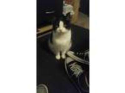 Adopt Kwinn a Black & White or Tuxedo Domestic Mediumhair / Mixed cat in Spokane