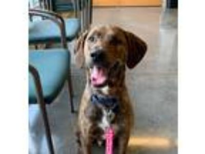 Adopt Tipton a Hound (Unknown Type) / Mixed dog in Pittsburgh, PA (25278157)
