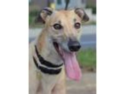 Adopt Blossom a Greyhound