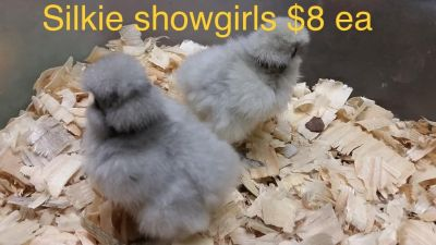 Silkie and Silkie Showgirl Chicks