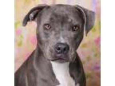 Adopt IRIE a Gray/Silver/Salt & Pepper - with Black American Pit Bull Terrier