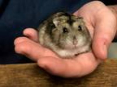 Adopt Cheeks a Silver or Gray Hamster (short coat) small animal in Rohnert Park