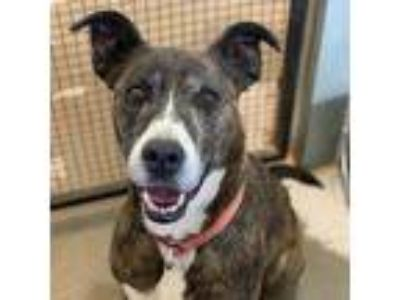 Adopt Bunny a Greyhound, Pit Bull Terrier