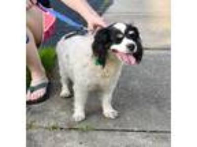 Adopt Lilly a Cavalier King Charles Spaniel / Mixed dog in Washington