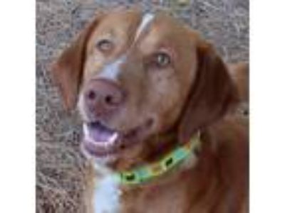 Adopt Rusty a Red/Golden/Orange/Chestnut Golden Retriever / Mixed dog in Roslyn