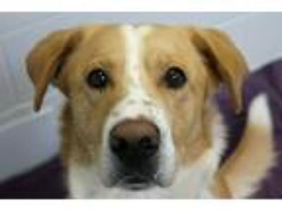 Adopt Buzz Lightyear a Tan/Yellow/Fawn - with White Cattle Dog / Labrador
