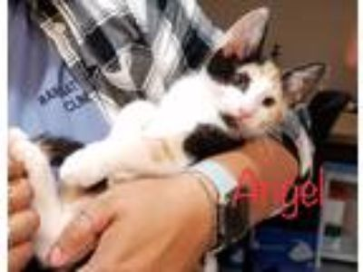 Adopt Angel a Calico or Dilute Calico Domestic Shorthair (short coat) cat in