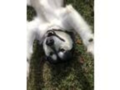 Adopt Natika a Gray/Silver/Salt & Pepper - with White Alaskan Malamute / Mixed